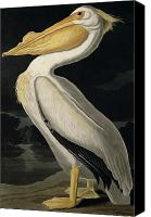 Wild Canvas Prints - American White Pelican Canvas Print by John James Audubon