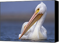 White Pelican Canvas Prints - American White Pelican North America Canvas Print by Tim Fitzharris