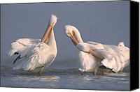 White Pelican Canvas Prints - American White Pelican Pair Preening Canvas Print by Tim Fitzharris