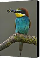 Hungary Canvas Prints - An Adult Male Bee Eater Holding Canvas Print by Joe Petersburger