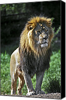 Captive Canvas Prints - An Alert, Majestic Lion With An Canvas Print by Jason Edwards