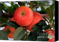 Red And Green Canvas Prints - An Apple a Day Canvas Print by Karen Wiles
