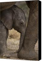 Africa Canvas Prints - An Elephant Calf Finds Shelter Amid Canvas Print by Michael Nichols
