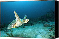 And Threatened Animals Photography Canvas Prints - An Endangered Loggerhead Turtle Canvas Print by Brian J. Skerry