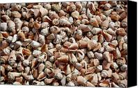 Conch Shells Canvas Prints - An Endless Sea Of Conch Shells Envelope Canvas Print by Wolcott Henry