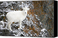 Sheep Photo Canvas Prints - An Innocent Lamb Canvas Print by Tim Grams