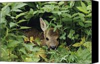 Roe Deer Canvas Prints - An Juvenile Roe Deer Capreolus Canvas Print by Mattias Klum
