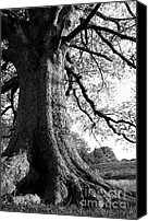 Quercus Canvas Prints - Ancient Oak Canvas Print by Thomas R Fletcher