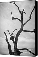 Grayscale Canvas Prints - Ancient Oak Tree No. 2 Canvas Print by Dave Gordon