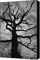 Grayscale Canvas Prints - Ancient Oak Tree No. 4 Canvas Print by Dave Gordon