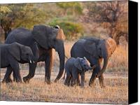 Elephants Canvas Prints - Ancient Tradition Canvas Print by Basie Van Zyl