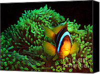 Amphiprion Bicinctus Canvas Prints - Anemone Fish in Anemone Canvas Print by Serena Bowles