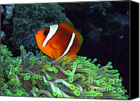 Amphiprion Bicinctus Canvas Prints - Anemone Fish in Green Anemone Canvas Print by Serena Bowles