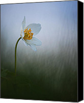 Rikard Olsson Canvas Prints - Anemone  Canvas Print by Rikard  Olsson