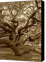 Gnarly Canvas Prints - Angel Oak in Sepia Canvas Print by Suzanne Gaff