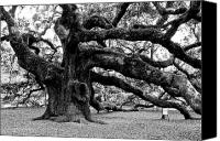 Angel Photographs Photo Canvas Prints - Angel Oak Tree 2009 Black and White Canvas Print by Louis Dallara