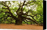 Photographs Canvas Prints - Angel Oak Tree 2009 Canvas Print by Louis Dallara