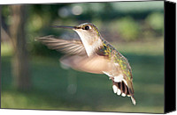 Ruby Throated Canvas Prints - Angels Wings Canvas Print by Bill Pevlor