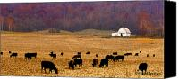 Black Angus Canvas Prints - Angus and Oaks  farm Canvas Print by Randall Branham