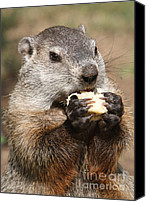 Groundhog Canvas Prints - Animal - woodchuck - eating Canvas Print by Paul Ward