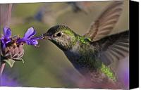 Annas Hummingbird Canvas Prints - Anna Canvas Print by Paul Marto