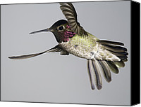Humming Bird Canvas Prints - Annas Hummingbird  Canvas Print by Gregory Scott