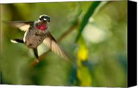 Male Hummingbird Canvas Prints - Annas Hummingbird In Landing Position Canvas Print by Laura Mountainspring