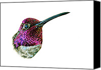 Colored Pencil Canvas Prints - Annas Hummingbird Canvas Print by Logan Parsons