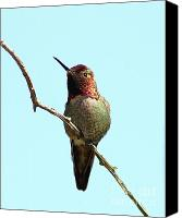Annas Hummingbird Canvas Prints - Annas Hummingbird Canvas Print by Wingsdomain Art and Photography