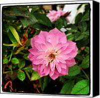 Pink Canvas Prints - Another Mini-rose From My Husband Canvas Print by Amber Flowers
