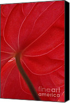 Ranjini Kandasamy Canvas Prints - Anthurium Canvas Print by Ranjini Kandasamy