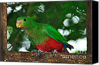 Red And Green Canvas Prints - Anyone Home... King Parrot - Female Canvas Print by Kaye Menner
