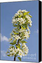 Nature Tapestries Textiles Special Promotions - Apple blossom in spring Canvas Print by Matthias Hauser