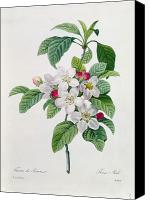 Redoute; Pierre Joseph (1759-1840) Canvas Prints - Apple Blossom Canvas Print by Pierre Joseph Redoute
