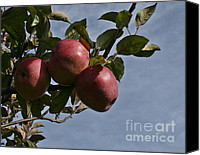 Apples Canvas Prints - Apple Harvest Canvas Print by Barbara McMahon