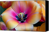 Tulip Stretched Canvas Prints - Apricot or Not Canvas Print by Dick Jones