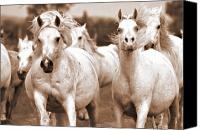 Horses Framed Prints Canvas Prints - Arabian mares home run Canvas Print by El Luwanaya Arabians