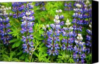 Lupines Canvas Prints - Arctic Lupine Canvas Print by John Greim