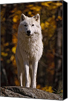 Wolf Cubs Canvas Prints - Arctic Wolf on Rocks Canvas Print by Michael Cummings