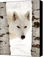 New World Canvas Prints - Arctic Wolf seen between two trees in winter Canvas Print by Mark Duffy