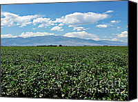Sky Canvas Prints - Arizona Cotton Field Canvas Print by Methune Hively