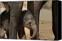 Baby Elephant Canvas Prints - Asian Elephant Baby Canvas Print by Julie L Hoddinott