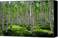 Woods Canvas Prints - Aspen Glen Canvas Print by The Forests Edge Photography - Diane Sandoval