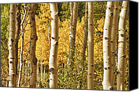 Fine Art Print Photo Canvas Prints - Aspen Gold Canvas Print by James Bo Insogna