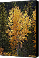 Fall Leaves Canvas Prints - Aspen Gold Canvas Print by Kelley King