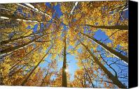 Lot Canvas Prints - Aspen Tree Canopy 2 Canvas Print by Ron Dahlquist - Printscapes