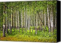 Canada Canvas Prints - Aspen trees in Banff National park Canvas Print by Elena Elisseeva