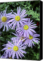 Merit Photo Canvas Prints - Aster X Frikartii monch Canvas Print by Archie Young