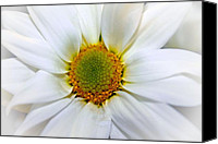 All Canvas Prints - Asteraceae Canvas Print by Elizabeth  Doran