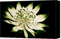 Starry Canvas Prints - Astrantia in Bloom Canvas Print by Wenata Babkowski